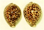 DARK TIGER COWRIE SHELLS / PAIR
