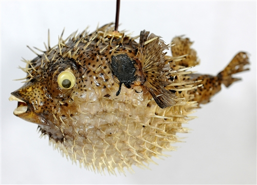 Spiny Blowfish Light Medium 13 Quot 14 Quot