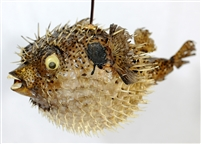 "SPINY BLOWFISH LIGHT / MEDIUM - 14""-15"""
