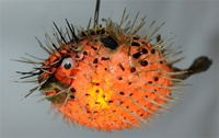 Spiny Blowfish Light Small 10 Quot 12 Quot