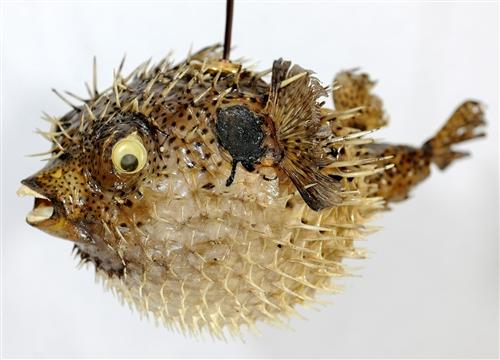 Spiny blowfish light medium 13 14 for Puffer fish lamp